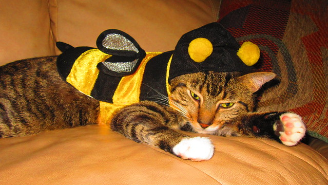 Stretched out tiger striped cat dressed in a black and yellow bee costume.