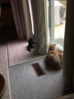 Miss Sugar and Spice lying in front of a sliding door, looking outside. Sugar is completely visible, while the front of Sugar is hidden by the curtain that hangs between them.