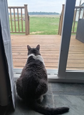 Miss Sugar sitting comfortably, watching out the back door. The back lawn can be seen with a farmer's field in the distance and woods in the background.