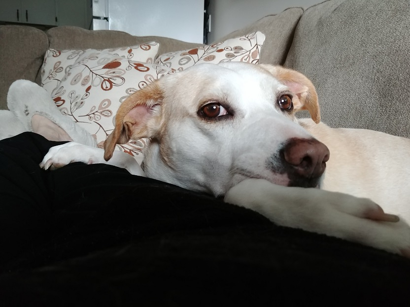 Ali the white dog, curled up on a couch looking into the camera.