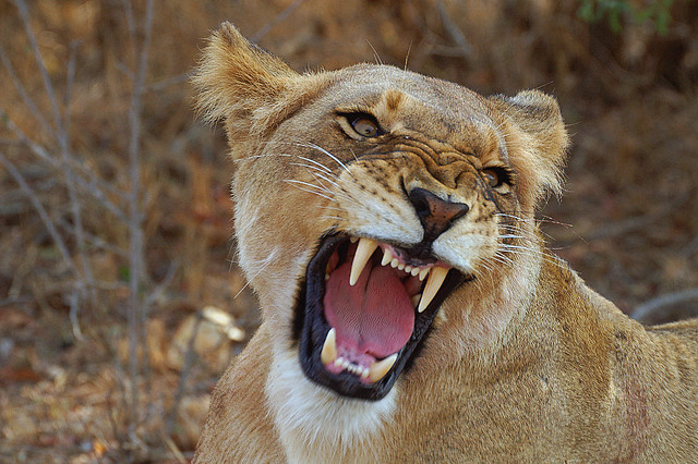 Female lion with its mouth open in a roar.